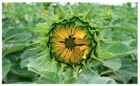 семена подсолнечника, семена подсолнечника купить, купить семена подсолнечника, купить семена подсолнечника харьков, купить семена подсолнечника цена, купить семена подсолнечника цена харьков, семена подсолнечника купить цена